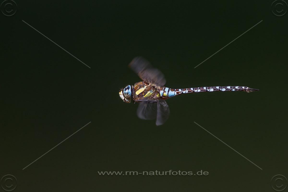 Herbst-Mosaikjungfer (Aeshna mixta)