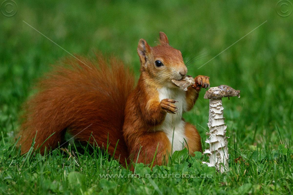 Eichhörnchen (Sciurus vulgaris) frisst Pilz