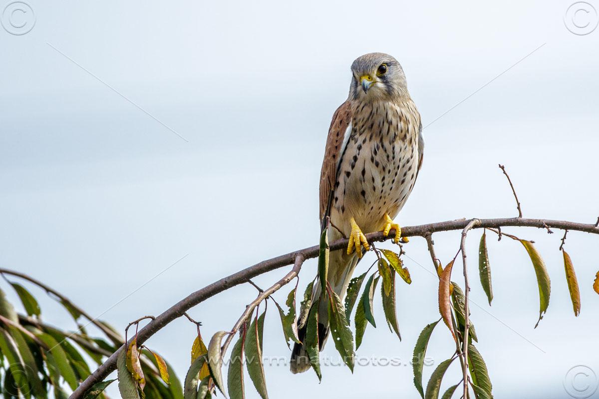 Turmfalke (Falco tinnunculus) Junges Männchen