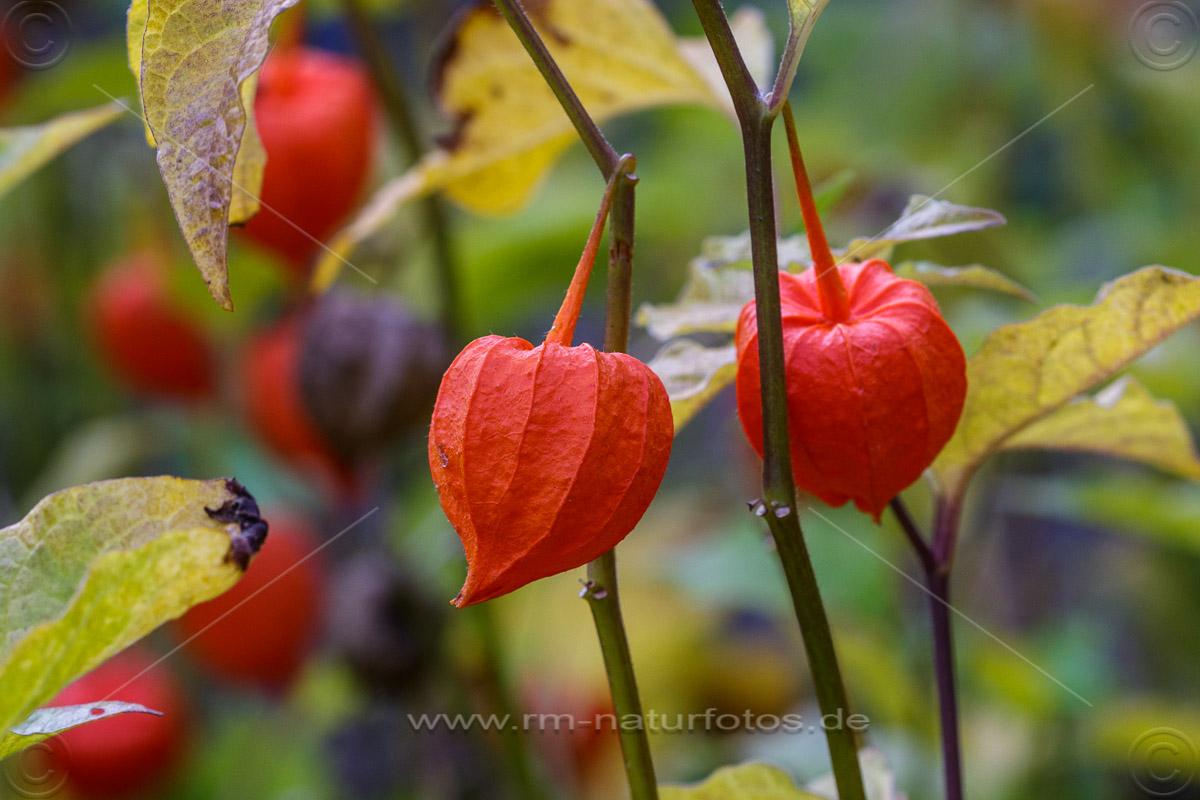 Lampionblume, Laternenpflanze (Physalis alkekengi)