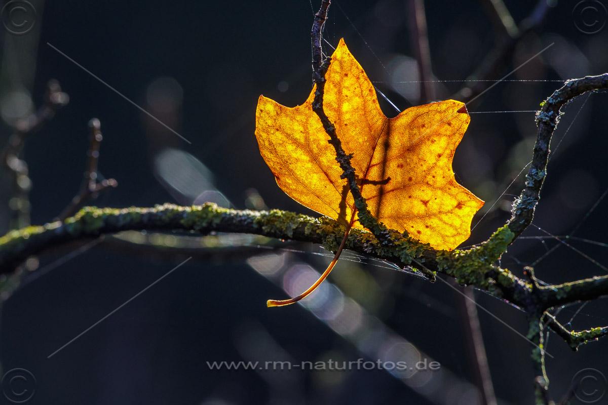 Herbstblatt im Gegenlicht