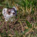 Hermelin (Mustela erminea) schaut ob die Luft rein ist