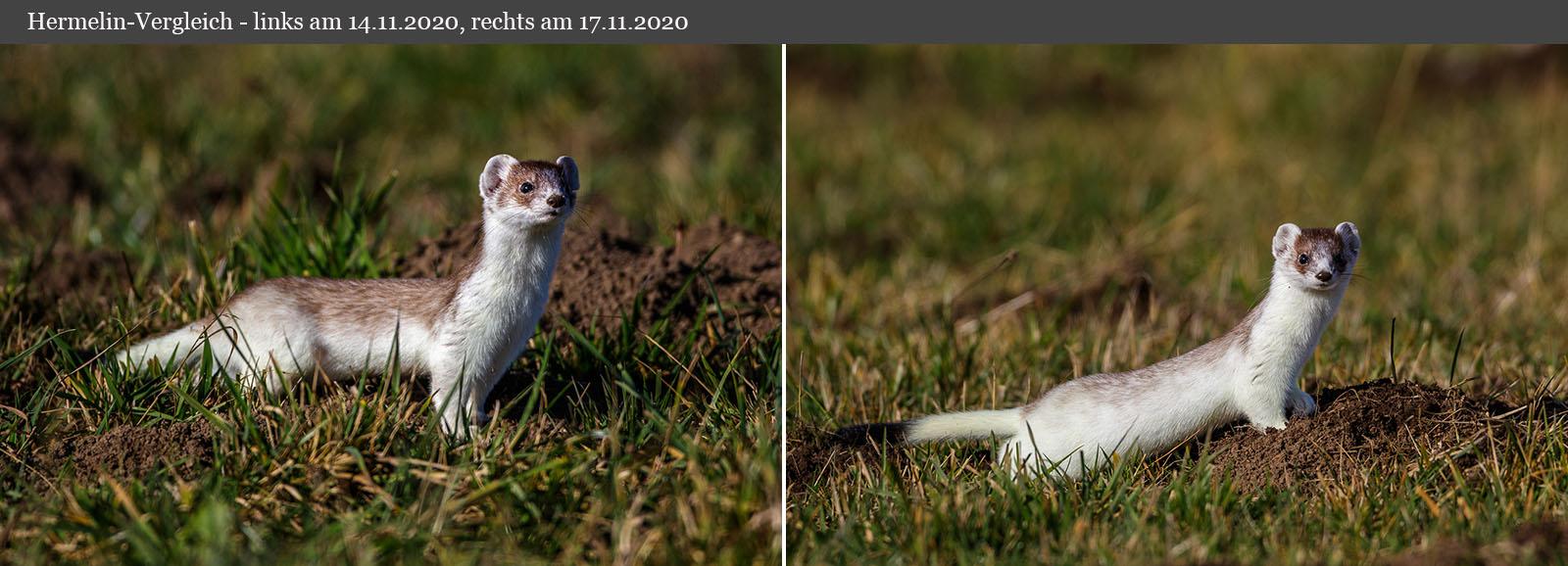 Hermelin-Vergleich mit drei Tagen Unterschied
