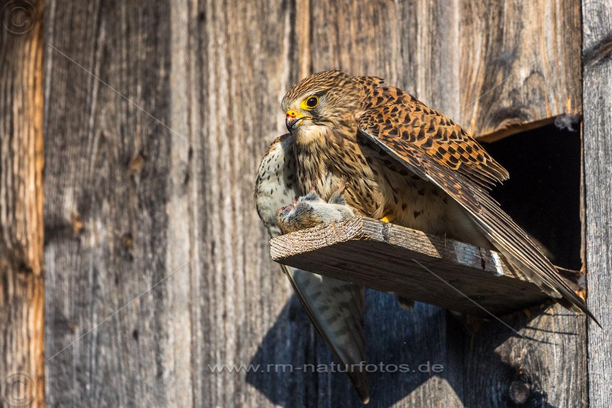 Turmfalke (Falco tinnunculus) Weibchen mit Beute