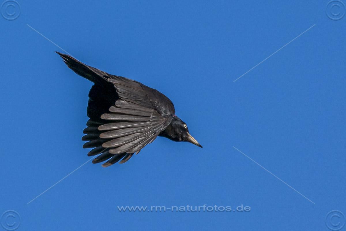 Schwarzspecht (Dryocopus martius) Männchen
