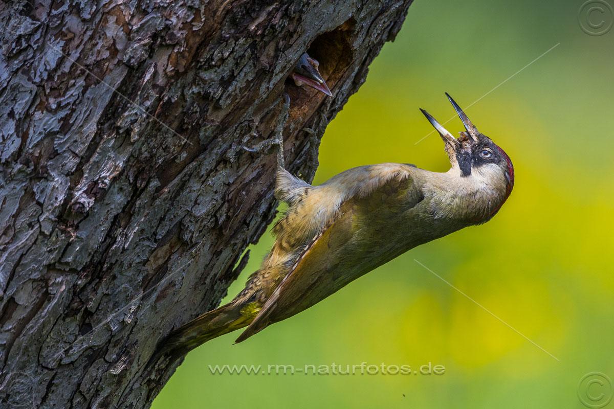 Grünspecht (Picus viridis) Weibchen