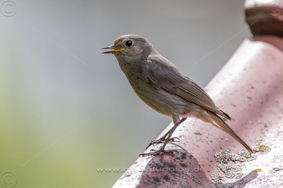 Hausrotschwanz (Phoenicurus ochruros) Weibchen