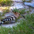 Wiedehopf (Upupa epops) entfernt die Flügeldecken bei einem Maikäfer