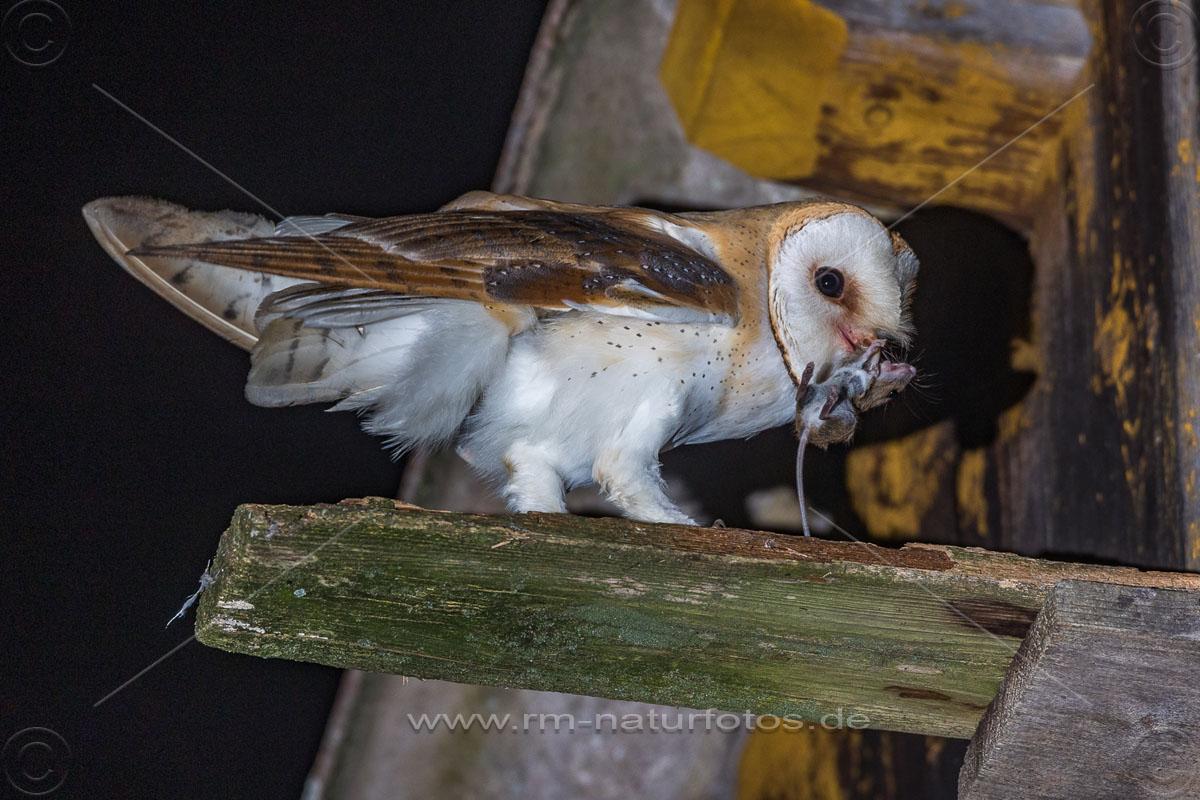 Schleiereule (Tyto alba) am Nistkasten