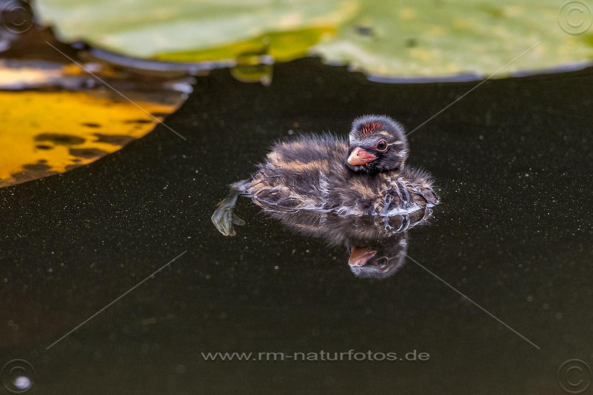 Zwergtaucher (Tachybaptus ruficollis) Jungvogel, Küken