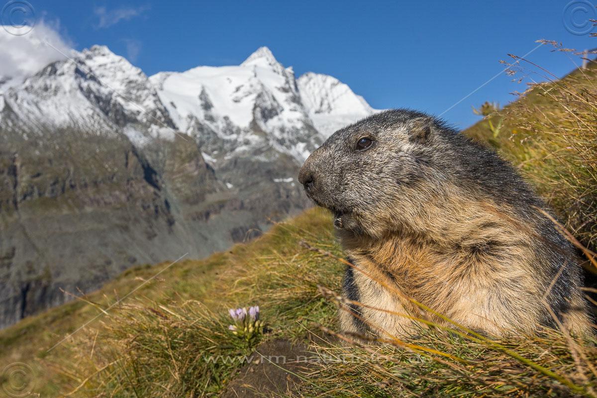 Alpenmurmeltier (Marmota marmota) mit Großglockner