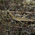 Gewöhnliche Nasenschrecke (Acrida ungarica)
