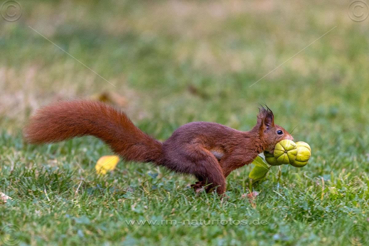 Eichhörnchen (Sciurus vulgaris) mit Hickorynüssen